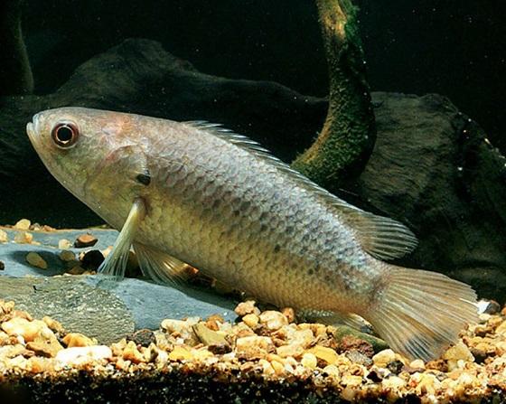 anabas-ryba-polzun