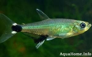 aphyocharax-paraguayensis