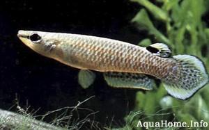 aplocheilus-panchax