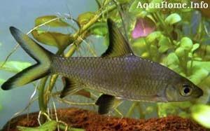 balantiocheilus-melanopterus