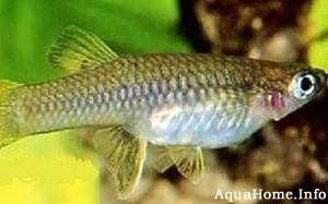 brachyrhaphis-cascajalensis