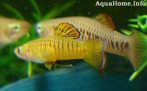 brachyrhaphis-holdridgei