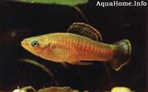 brachyrhaphis-terrabensis