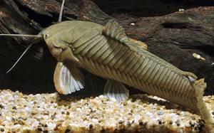 callichthys-callichthys
