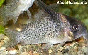 corydoras-delphax