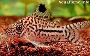 corydoras-leopardus