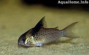 corydoras-melanistius