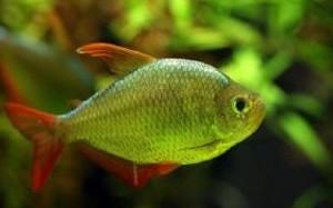 hyphessobrycon-columbianus