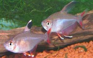 hyphessobrycon-rosaceus