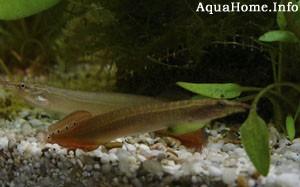 macrognathus-aculeatus