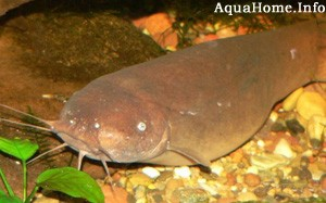 malapterurus-electricus