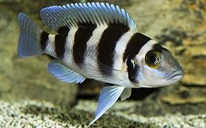 neolamprologus-tretocephalus