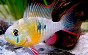 papiliochromis-altispinosa