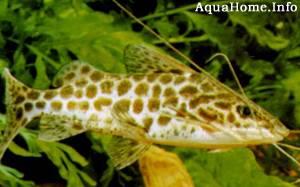 pimelodus-maculatus