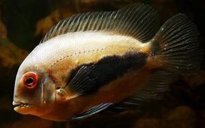 uaru-amphiacanthoides