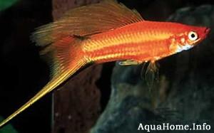 xiphophorus-helleri
