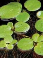 Лимнобиум побегоносный