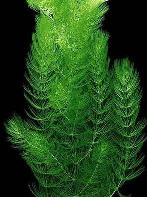 Роголистник темно-зеленый