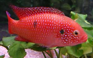 Хемихромис красный