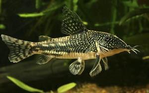 Склеромистакс барбатус