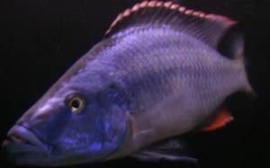 Хаплохромис длиннорылый