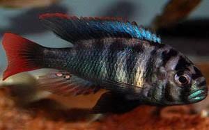 Неохромис двухцветный