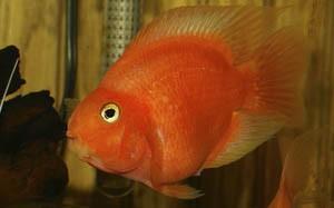 Рыба красный попугай