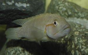 Тельматохромис канинус