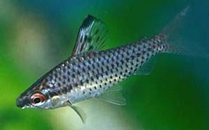 chilodus-punctatus