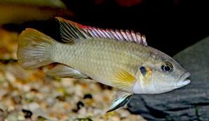 benitochromis-batesii