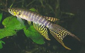 Афиолебиас перуанский