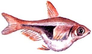 Киста половых продуктов у рыб