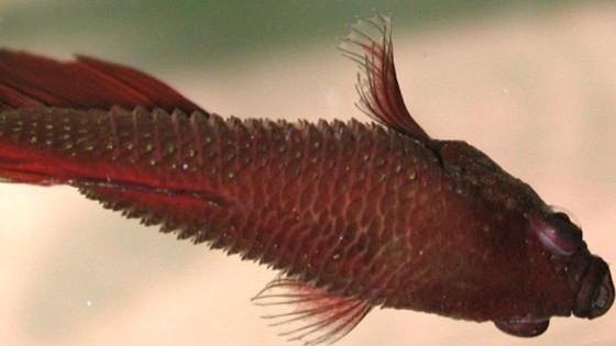Костиоз у рыб