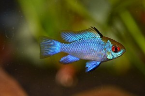 mikrogeophagus-ramirezi-electric_blue