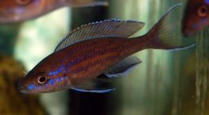 paracyprichromis-nigripinnis