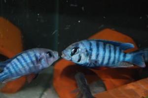 Неохромис голубой