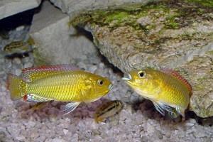 Псевдокренилябрус многоцветный