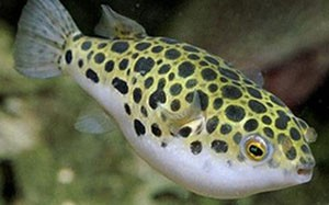 Леопардовый тетраодон