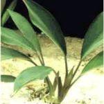 Аглаонема костата (Aglaonema costata)