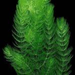 Роголистник темно-зеленый (Ceratophyllum demersum)