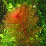 Перистолистник красный (Мyriophyllum mattogrossense)