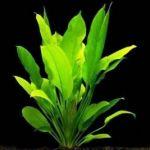 Эхинодорус селловианус (Echinodorus sellovianus)
