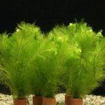 Перистолистник выщербленный, Уруть нежная (Myriophyllum pinnatum)