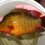 Травмы у аквариумных рыбок