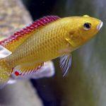 Псевдокренилябрус многоцветный, или хромис-бульти (Pseudocrenilabrus multicolor)