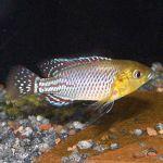 Псевдокренилябрус Николси, или Радужный красавец (Pseudocrenilabrus nicholsi)