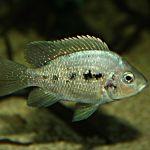 Птихохромис губастый (Ptychochromis oligacanthus)