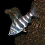 Абрамитес Мраморный (Abramites hypselonotus)