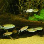 Бринцинус длинноплавничный, или Конго бриллиантовый (Brycinus longipinnis)