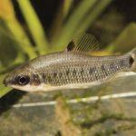 Дистиходус десятиточечный (Distichodus decemmaculatus)